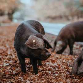 Outdoor Bred Pork